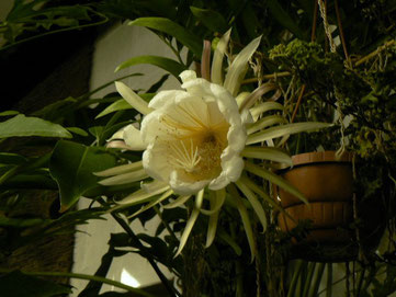 Selenicereus chrysocardium