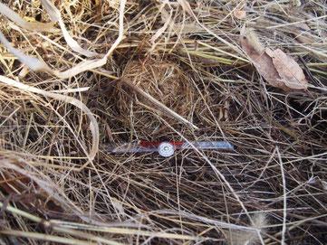 エノコログサのリター下にあった地表巣