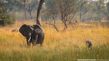 elephants okavango delta botswana