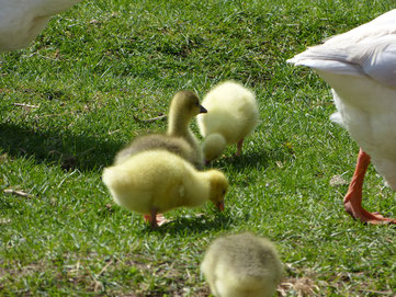 Die Gänseküken im Frühjahr 2014 im Alter von etwa zwei Wochen. Sie grasen friedlich zwischen den Elterntieren, welche sie bewachen. Im Grünen bei herrlichem Sonnenschein.