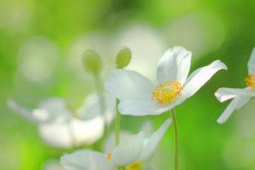 春風に揺れるアネモネにゼフィロスが愛を囁く