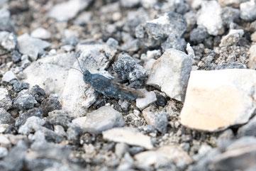 Gut getarnte blauflügelige Ödlandschrecke