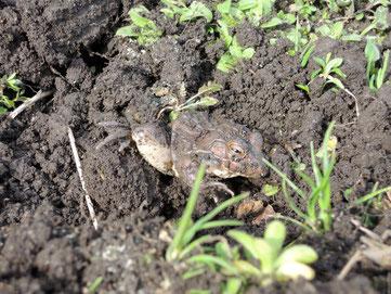 冬眠中のカエルくん起こす。