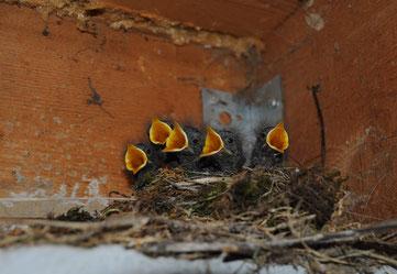 Junge Vögel im Nest im Stall