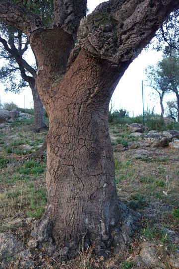 Chêne à liège