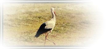 Und man/frau sieht ihn doch bei uns in der Umgebung, den Storch