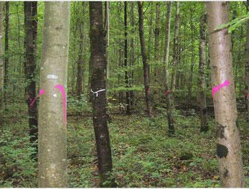 Vitale Bäume (weisses Band) und Konkurrenten (rot markiert)
