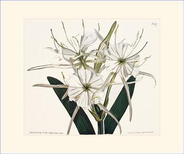 Large-crowned Pancratium