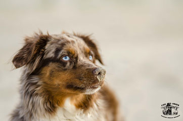 Zucht Wurfplanung Mini Aussie American Shepherd NRW Dortmund Fire and Ashes Minis