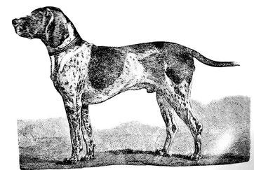 Kurzhaariger Deutscher Vorstehhund Hector IV (Aus Corneli, Die Deutschen Vorstehhunde, 1884)