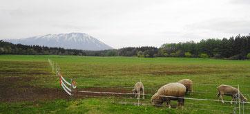 羊もミドリが大好き