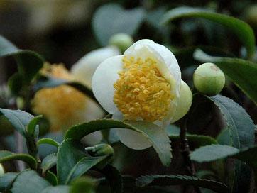 チャノキ ファーイーストフラワーエッセンス9月のお花です