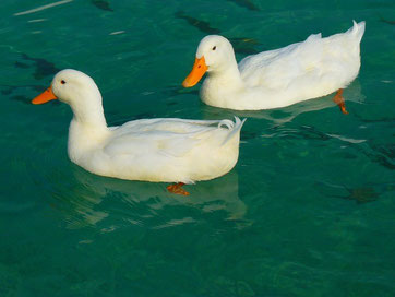 Paddling plot ducks.