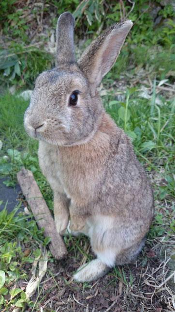 志賀高原の野ウサギ