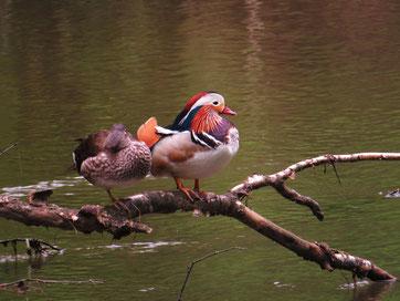 Mandarinenten-Paar im Wurmtal (Foto: Wolfgang Voigt)