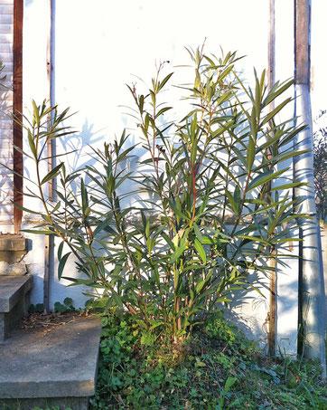 Oleander HAUS,  Nerium Oleander, Oleander frei ausgesetzt, im Freiland, überwintern