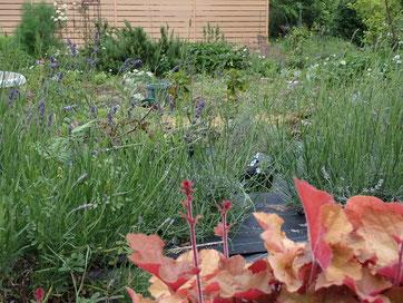 ラベンダーおかむらさきが咲き始めたkiki庭