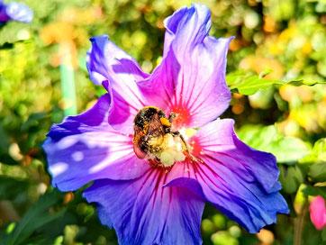 Erdhummel in einer lila Busch-Malve von Marc Wettering