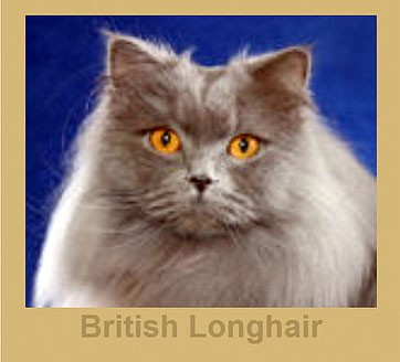 British Longhair, Bildquelle: tica.org
