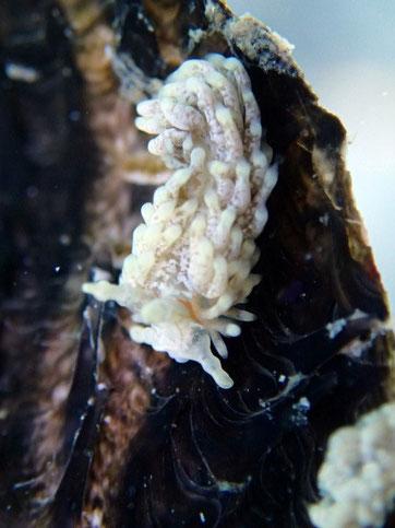 Aeolidiella alba sur une nacre
