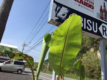 バナナ達も少しづつ成長中❤