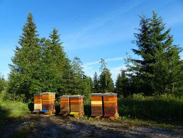 Bienenbeuten im Tannenwald