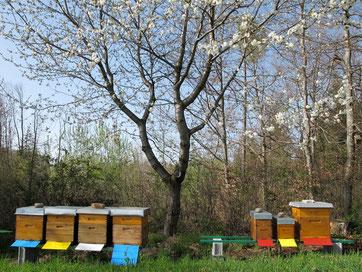 Beginnende Kirschblüte zum Auftakt der Bienensaison