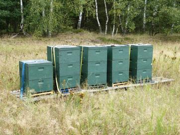 Fünf Bienenvölker unserer Honigbienen in der Altengrabower Heide. Das Heidekraut blühte hier dieses Jahr trotz langer Trockenheit. Wir konnten guten Honig ernten.