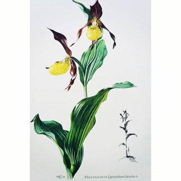 Frauenschuh, Pflanze, Orchidee, gelb blühend