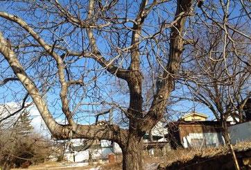 小諸市にはくるみの木がいっぱい
