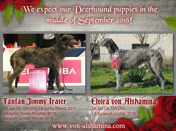 Scottish Deerhound Wurf 2018..., wir hoffen Mitte September 2018 auf Deerhound Welpen! SCOTTISH DEERHOUNDS aus der Zucht von Alshamina/Deutschland/Rheinland-Pfalz!