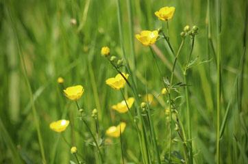 Gelbe in der Sonne glänzende Blüten der Butterblume. Bild von Annette Meyer auf Pixabay