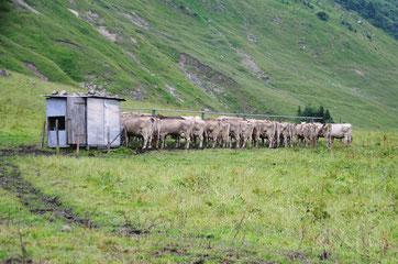 Kühe am Melkstand auf der Alp