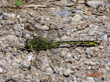 Keiljungfer, Ophiogomphus spec.