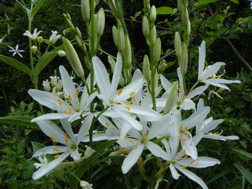 Astlose Graslilie, Anthericum liliago
