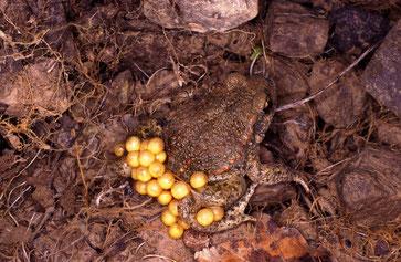 Geburtshelferkröte, Alytes obstericans, Männchen trägt und bewacht den Laich bis zur Geburt der Larven