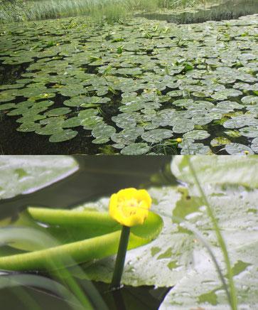 an einem kleinen Teich im Eyachtal blüht die Gelbe Teichrose (Nuphar lutea)