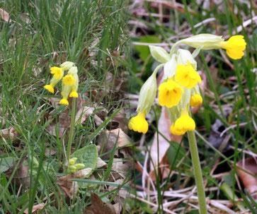 Wiesen-Schlüsselblume (Primula veris) bei Dietlingen (Foto: G. Franke)