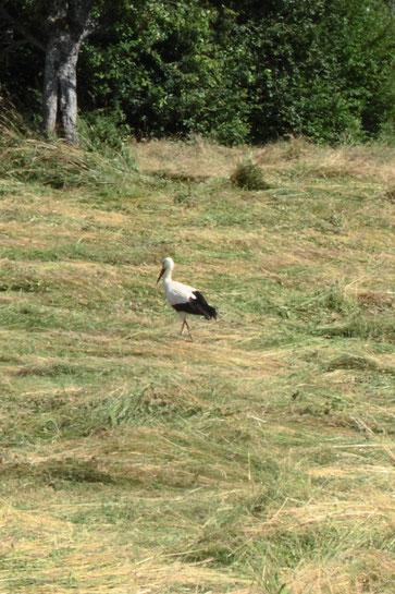 Ein Weißstorch zu Gast bei Karlsbad Spielberg - zur Wiesenmahd kommen die Störche aus der Rheinebene zur Futtersuche - nun wird geprüft, ob eine Wiederansiedlung möglich ist (G. Franke, 19.06.18)