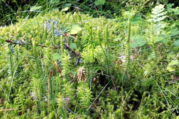 Sprossender Bärlapp (Lycopodium annotinum) unterhalb Lehenbrückle
