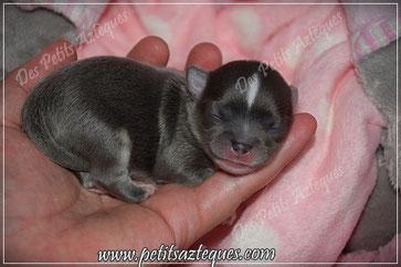 Chihuahua bleu poils longs à la naissance - Elevage Des Petits Aztèques