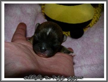 Chihuahua fauve charbonné poils longs - à la naissance - Elevage Des Petits Aztèques