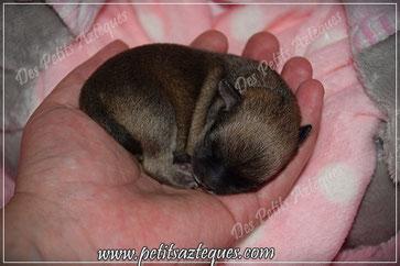 Chihuahua fauve charbonné poils courts à la naissance - Elevage Des Petits Aztèques