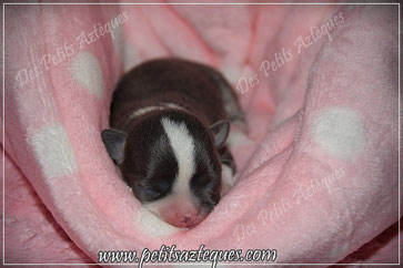 Chihuahua bleu poils courts à la naissance - Elevage des Petits Aztèques