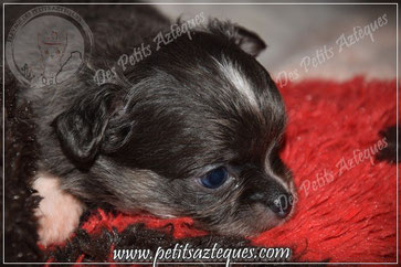 Chihuahua bleu poils longs à 1 mois - Elevage Des Petits Aztèques