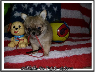 Chihuahua fauve charbonné poils longs - 2 mois - Elevage Des Petits Aztèques