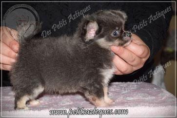 Chiot chihuahua à vendre