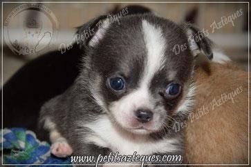 Chihuahua bleu poils courts à 1 mois - Elevage Des Petits Aztèques