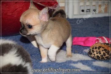 Chihuahua couleur fauve charbonné 2 mois - Elevage Des Petits Aztèques