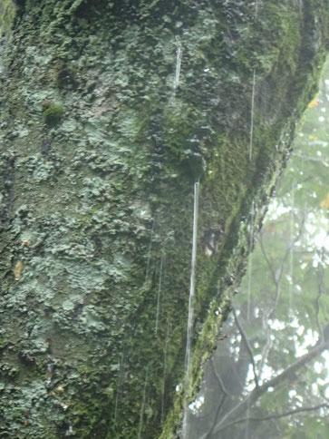 樹の幹から水!